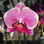 Growing Orchids in Your Home